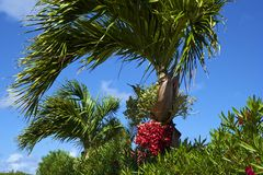 Palmtree with red seeds Stock Images
