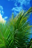 Palmtree in the sky. Palmtree and blue sky in the tropics Royalty Free Stock Photography