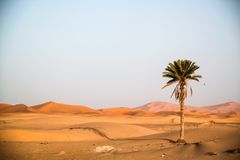 Palmtree sta stando nel deserto fotografie stock libere da diritti