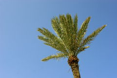 Palmtree su priorità bassa blu Fotografie Stock