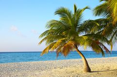 Palmtree on a tropical beach. Palmtree on a coral tropical beach, island Kuredu in the Indian Ocean, Maldives Royalty Free Stock Images