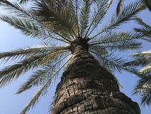 Palmtree at the Turia Gardens Royalty Free Stock Photography