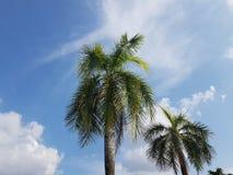 Palmtreees op heldere duidelijke dag met witte wolken en blauwe hemel Royalty-vrije Stock Foto's