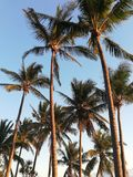 Palmtrees royaltyfri bild