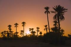 Palmtrees della data con il tramonto Fotografie Stock