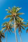 palmtrees della noce di cocco fotografia stock libera da diritti