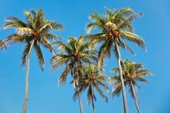 palmtrees della noce di cocco fotografie stock libere da diritti