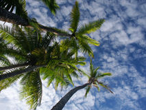 Palmtrees e cielo Fotografia Stock