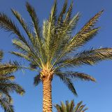 Palmtrees. In Egypt Royalty Free Stock Images
