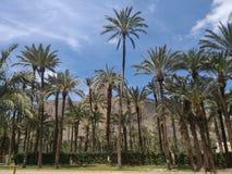 palmtrees em orihuela fotos de stock