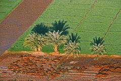 Palmtrees in field at Luxor, taken from air-balloon. Palmtrees in a field taken from an the Air-balloon at Luxor in Egypt Royalty Free Stock Image