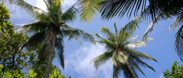 Palmtrees i himmelpanoraman Arkivbilder