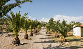 Palmtrees i rad Royaltyfri Foto