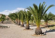 Palmtrees i rad Arkivbild