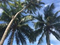 Palmtrees i Sri Lanka Arkivfoton