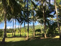 Palmtrees landscape in the morning. Farm land with palmtrees landscape in the morning of Anda Bohol the Philippines Stock Photo