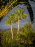 Palmtrees a Lanzarote Immagini Stock Libere da Diritti