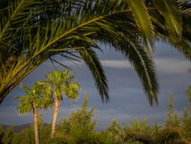 Palmtrees in Lanzarote. View of the palmtrees in the southern Lanzarote Royalty Free Stock Images
