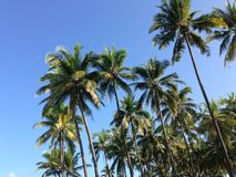 Palmtrees at Ngwe Saung Beach Stock Photos