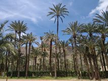 palmtrees in orihuela stock foto's