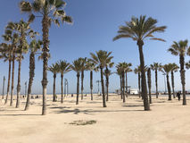 Palmtrees på den Las arenastranden Royaltyfri Bild