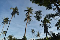 Palmtrees que aumenta no céu azul Fotos de Stock Royalty Free