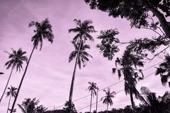Palmtrees rising in the pink sky. Palmtrees rising in the pink evening sky Royalty Free Stock Images