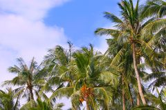 Palmtrees sulla priorità bassa del cielo Fotografia Stock