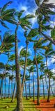 Palmtrees swaying in the wind. The swaying of palm trees on a windy Kauai beach Stock Photo