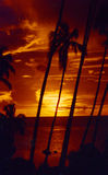 palmtreesolnedgång tahiti Arkivbilder