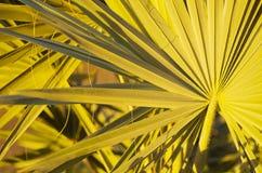 Palmvarenbladen Stock Afbeelding