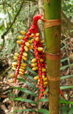 Palmvruchten Stock Foto