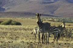 Palmwag-Zebra Lizenzfreie Stockfotos