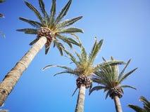 Palmy i niebieskie niebo Zdjęcie Royalty Free