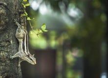 palmy indyjska wiewiórka Obraz Stock