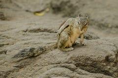 palmy indyjska wiewiórka Zdjęcia Stock
