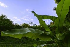 Palmy między dużymi liśćmi w tropikalnym lesie Fotografia Stock