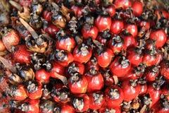 Palmy nafciana owoc Zdjęcia Stock