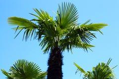 Palmy przeciw niebieskiemu niebu zdjęcie stock