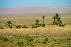 palmy pustyni Obrazy Stock