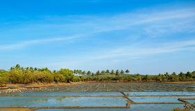 Palmy trees on rice field Royalty Free Stock Images
