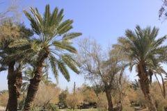 Palmy w Ein Fashkha, Einot Tzukim Naturalnej rezerwy oaza w ziemi święta Obraz Royalty Free
