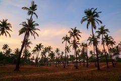 Palmy w Goa przy zmierzchem zdjęcie stock