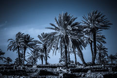 Palmy w zniszczeniu, Izrael Zdjęcie Royalty Free