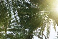 Palmy z bujny zieleni ulistnieniem na słonecznym dniu fotografia royalty free