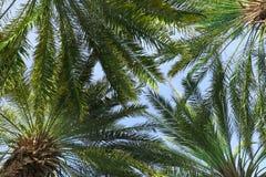 Palmy z bujny zieleni ulistnieniem na słonecznym dniu obraz stock