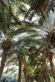 Palmy z bujny zieleni ulistnieniem na słonecznym dniu zdjęcie stock