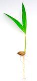 palmy ziarno Zdjęcie Stock