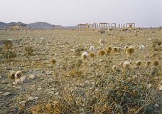 Palmyra desert ruins Stock Photos