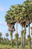 Palmyra palm Stock Photos